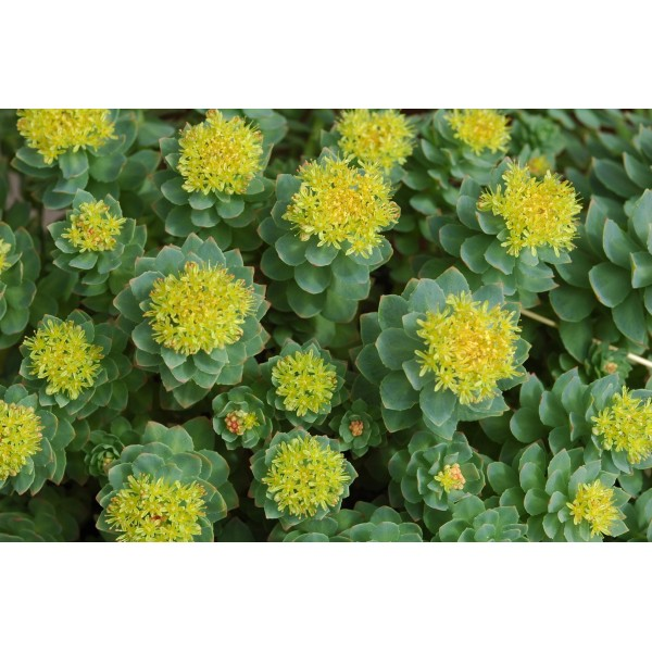 rhodelia men Should you use rhodiola for adrenal fatigue what are the risks rhodiola works as an anti-stress herb, but also acts as a stimulant.
