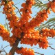 Sea buckthorn virgin oil, 100% cold pressed